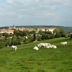 Cattle grazing in Burgundy, France