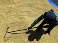 man harvesting and drying rice