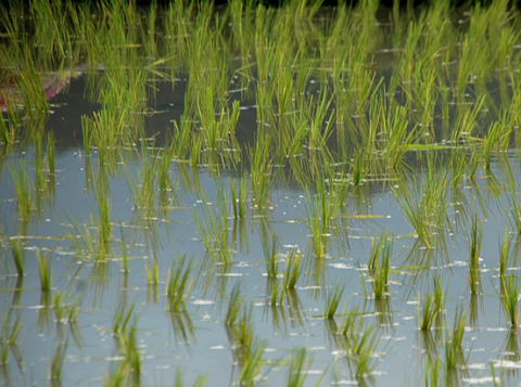 Flooded rice paddy