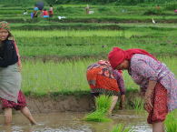 Paddy rice production
